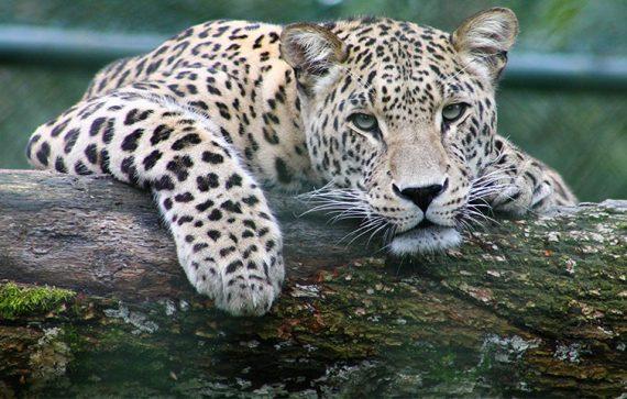 tiger 570x363 - Jardim Zoológico – Um Ponto de Paragem em Lisboa