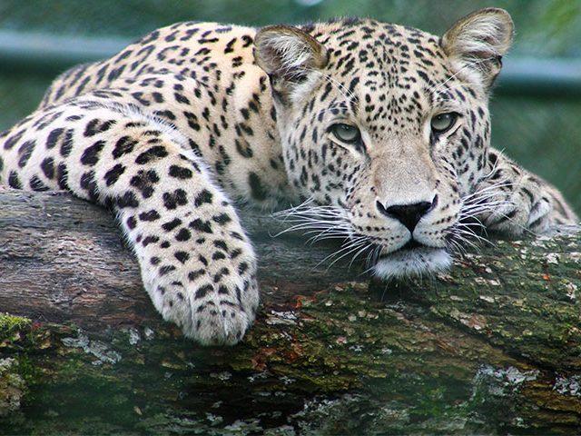 tiger 640x480 - Jardim Zoológico – Um Ponto de Paragem em Lisboa